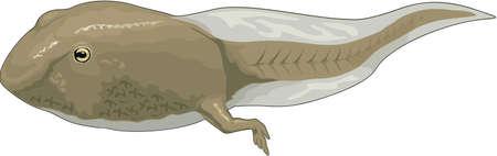 Tadpole Illustration Illustration