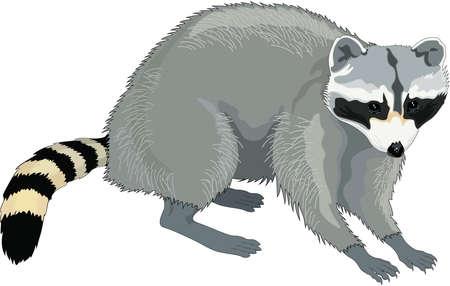 coons: Raccoon Illustration Illustration