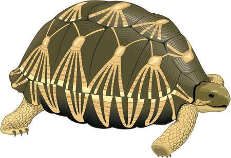 Tortoise Illustration Illustration