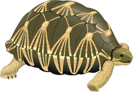 Tortoise Illustration Çizim