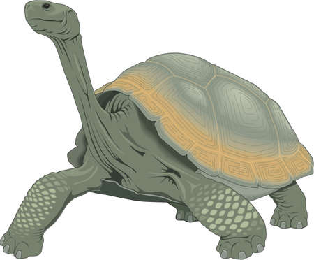Galapagos Tortoise Illustration