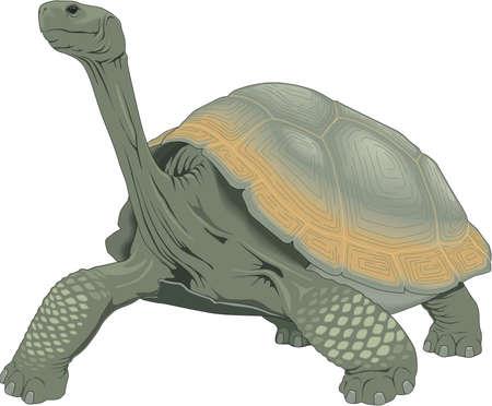 Ilustracja Żółw Galapagos