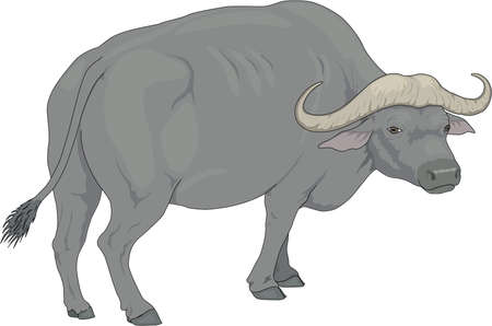 Water Buffalo Illustration Illustration