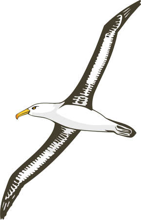 Black Browed Albatross Illustration