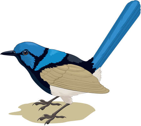 Superb Blue Wren Illustration