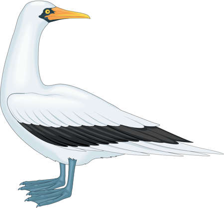 Masked Booby Illustration