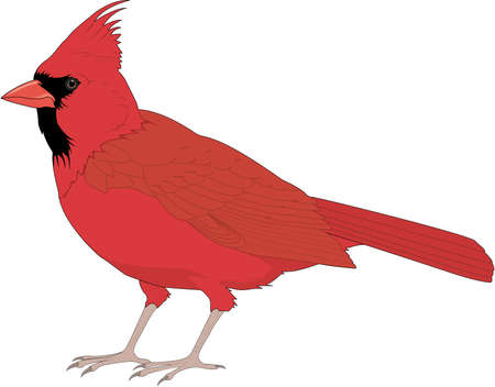 Cardinal bird illustration Illustration