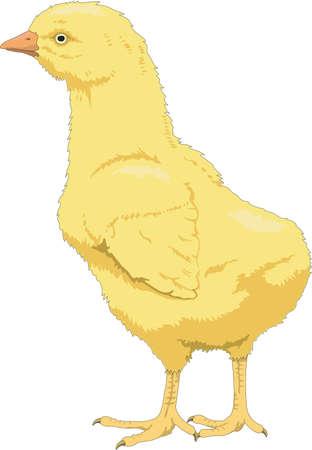 Chick Illustration