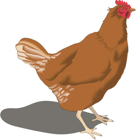domesticated: Chicken Illustration