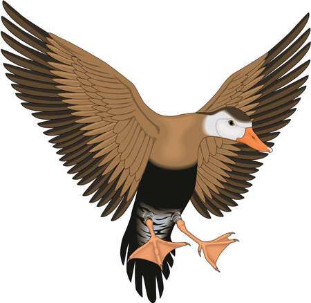 Whistling Duck Illustration