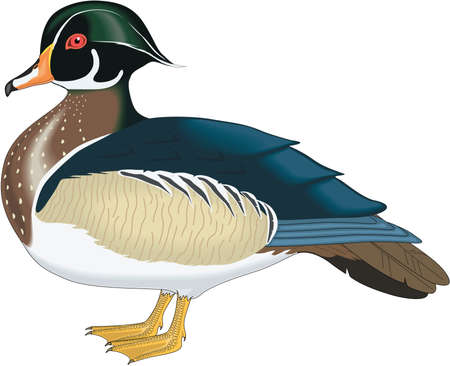 Wood Duck Illustration
