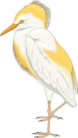 Cattle Egret Illustration