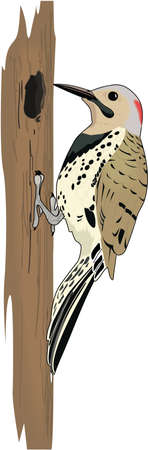 Yellow Shafted Flicker Illustration