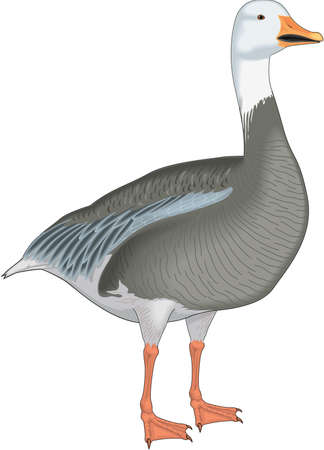 Snow Goose Illustration