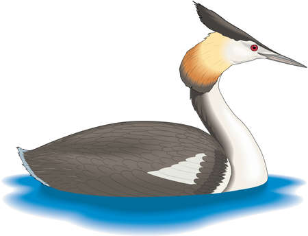 Great Crested Grebe Illustration
