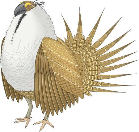 Sage grouse illustration.