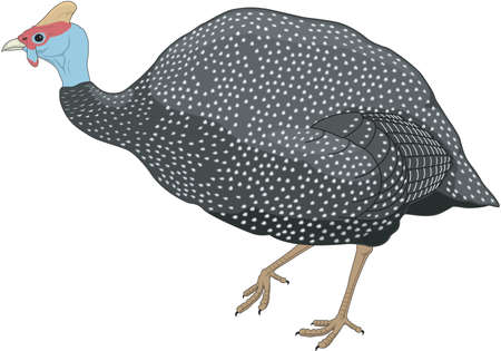 Guinea fowl illustration.