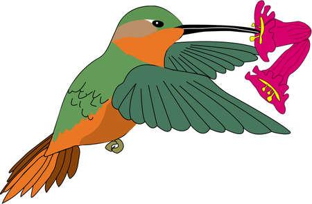 Allens Hummingbird Illustration (Male)