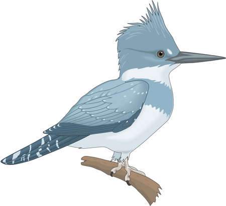 Belted Kingfisher illustration.