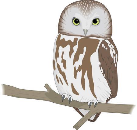 Sah Whet Owl Illustration Standard-Bild - 83892869