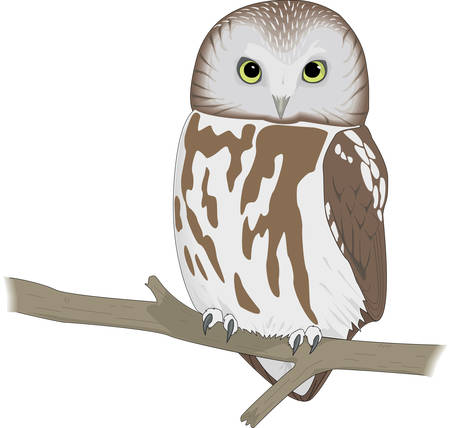 Saw Whet Owl Illustration Illustration