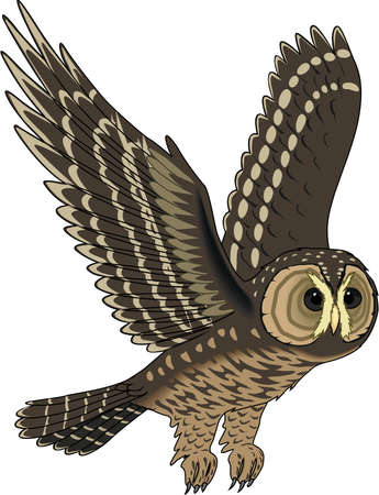 spotted: Spotted owl illustration. Illustration