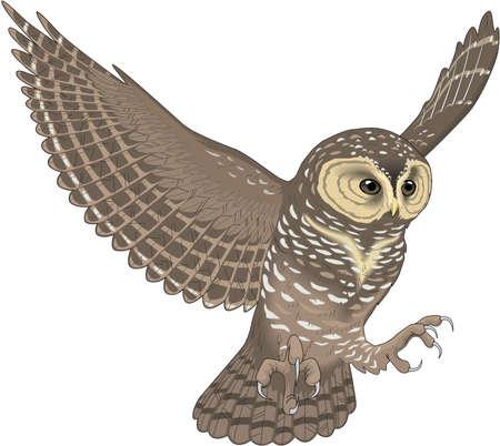 Spotted owl illustration. Ilustração