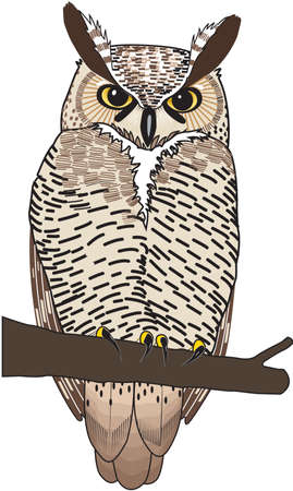 Spotted owl illustration. Illustration