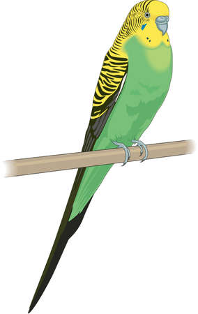 Parakeet illustration. Illustration
