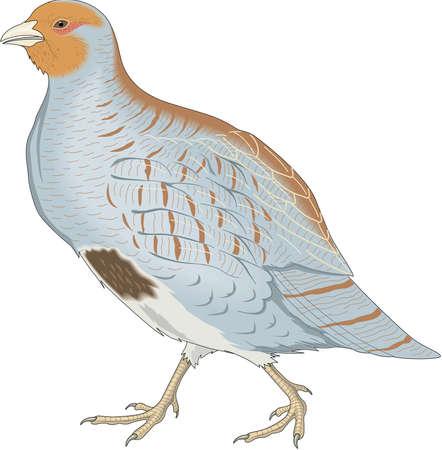 Gray partridge illustration.