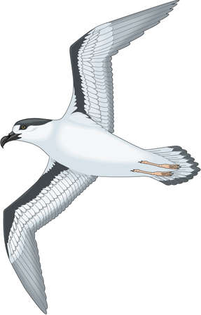 Black capped petrel illustration.