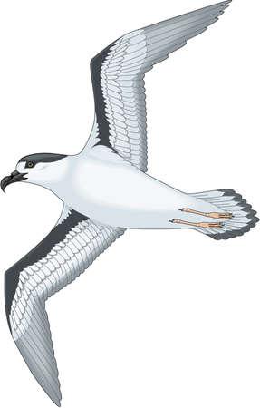 Black capped petrel illustration.