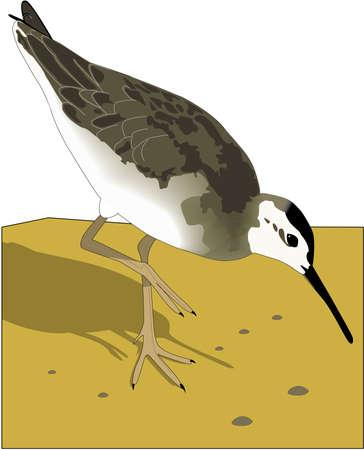 Illustration of wilsons phalarope.