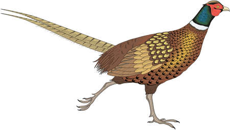 Ring Necked Pheasant Illustration Ilustracja
