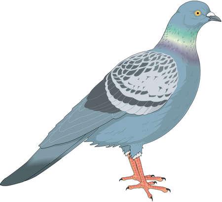 Illustrazione di piccioni