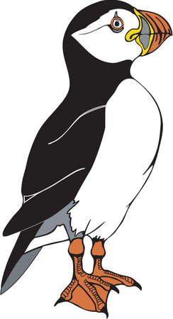 Atlantic puffin illustration.
