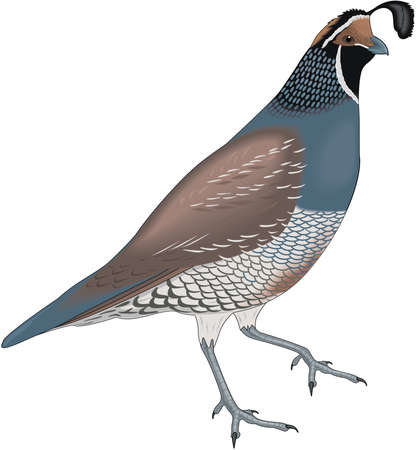 Mountain quail illustration.