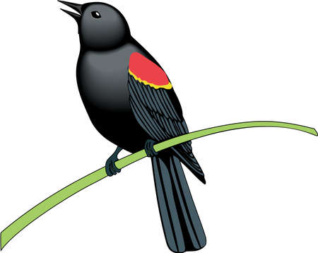 Red winged blackbird illustration.