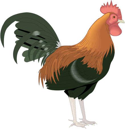 Rooster illustration. Ilustracja