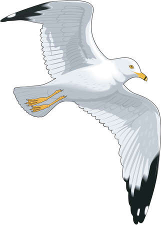 Ring billed gull illustration.