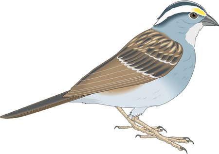 Sparrow illustration.