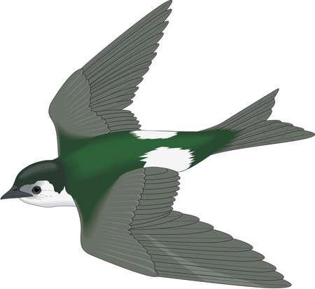 Violet Green Swallow Illustration Ilustração