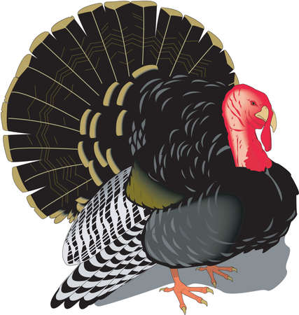 Domestic turkey illustration. Çizim