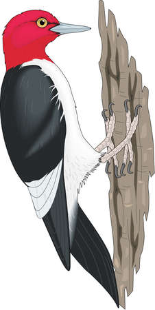 Red Headed Woodpecker Illustration Illustration