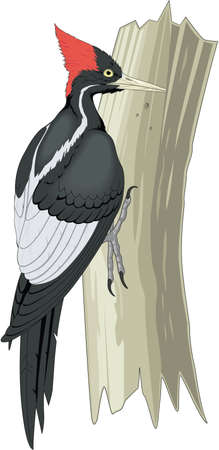 Ivory billed woodpecker illustration.