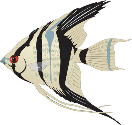 Angelfish illustration.