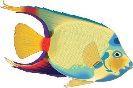 Queen angelfish illustration.