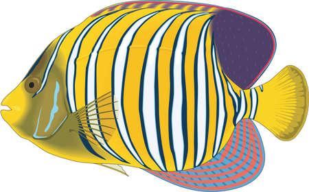 Regal angelfish illustration. Illustration