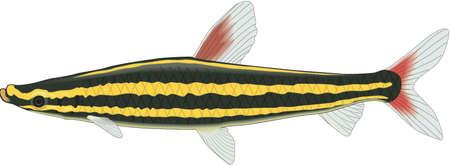 Striped anostomus illustration.