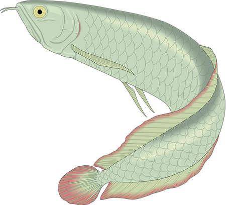 Arowana illustration.